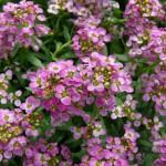 開花するアリッサム