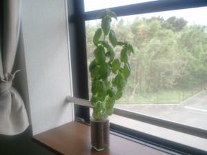 窓際のバジル栽培と空き瓶