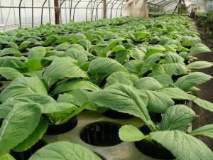 2014年白菜の苗