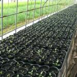 ビオラ鉢植え2014