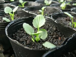 ビオラポット栽培