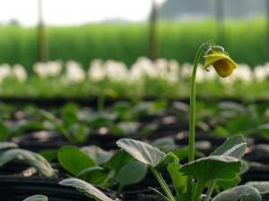 咲き始める良く咲くスミレ2014