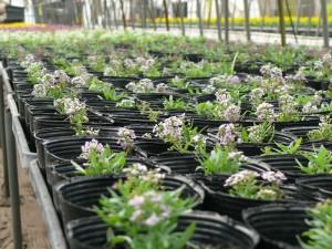 鉢植えアリッサム2014