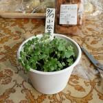 小松菜を小さな食器に植える