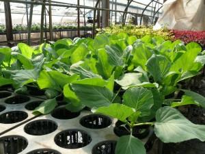 キャベツ苗の発育