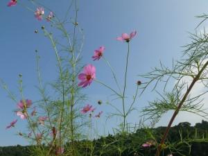 自然とコスモス
