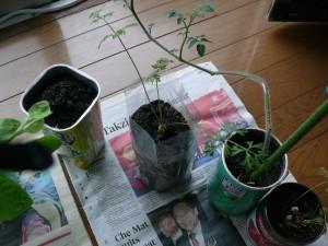 ミニキャロットの栽培