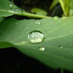 キャベツの葉と水