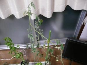 室内ミニトマトの栽培