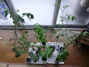 室内栽培の光景