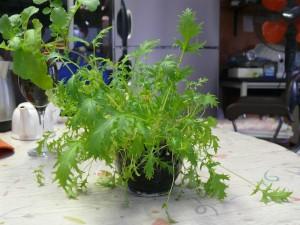 水菜をカップで栽培する