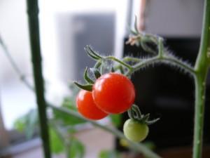 ミニダイヤトマトの室内栽培