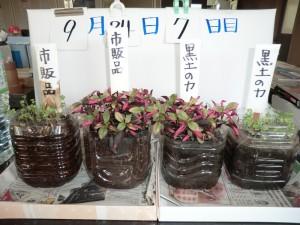 7日目の水菜ペットボトル栽培