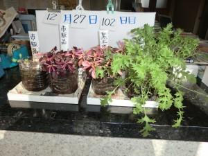 12.27水菜ペットボトル栽培