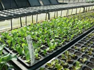 レタス苗の成長