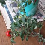 ミニトマトの室内栽培