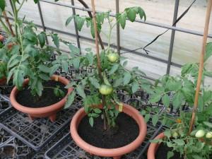 トマト苗のプランター栽培