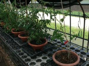 トマト苗の成長を比較