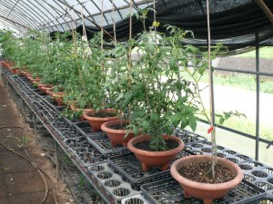 一般培養土と市販トマト苗を比較