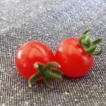 室内栽培でミニトマト