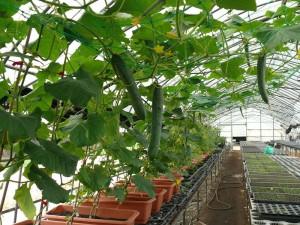 キュウリ苗のプランター栽培