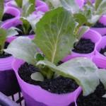 9cmポットにレタスを鉢植え