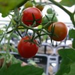 プランター栽培に実るミニトマト