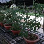 ミニトマトのプランター栽培