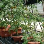 ジャングル化するミニトマト
