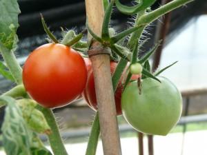 しっかりとミニトマト