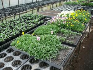 種植えから発芽し花が