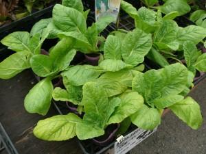 十時花園の白菜苗
