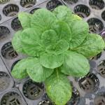 成長する白菜苗