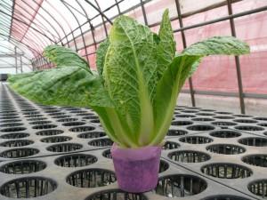 9cmポットで立つ白菜