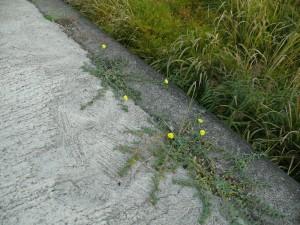 コンクリートの隙間に咲く自然花