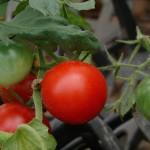 赤く咲くミニトマト