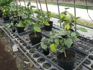 2015年10月のミニナス栽培