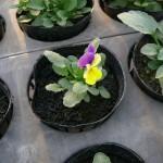 花摘みビオラ