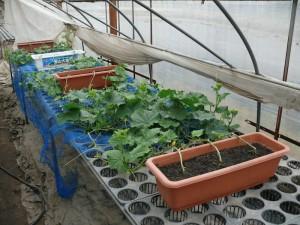 横たわるキュウリ栽培