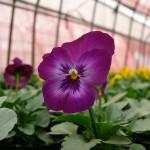 紫に咲くビオラ