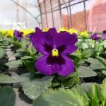 流れる紫パンジー