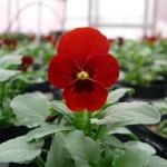赤く咲くビオラ