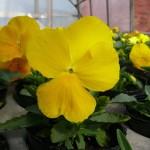 黄色に咲く