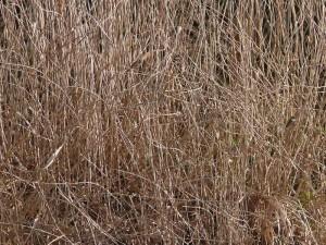 葦にとまる自然物