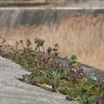 地道に生きる野花