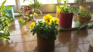 和紙プランターで花を育てる