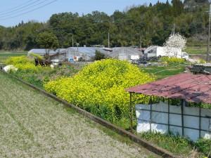 腐葉土と菜の花
