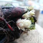 紫根に芽吹く紫草