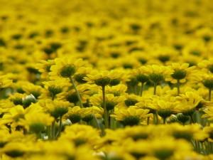 ノースポール黄色