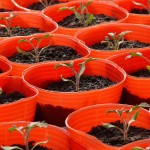 トマトの苗2016年
